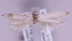(Coleophora serratulella - MM16298)  @14 [ ] No Rights Reserved (2011) Marko Mutanen University of Oulu
