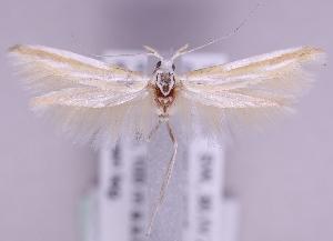 (Coleophora acanthyllidis - MM16359)  @11 [ ] No Rights Reserved (2011) Marko Mutanen University of Oulu