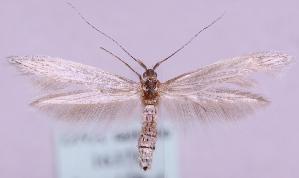 (Coleophora centaureivora - MM16378)  @14 [ ] No Rights Reserved (2011) Marko Mutanen University of Oulu