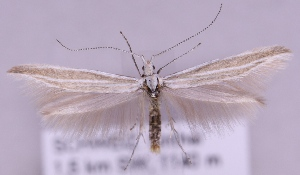 (Coleophora rectilineella - MM16599)  @15 [ ] No Rights Reserved (2011) Marko Mutanen University of Oulu
