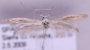 (Coleophora brunneosignata - MM20258)  @14 [ ] No Rights Reserved (2012) Marko Mutanen University of Oulu