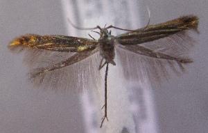 (Coleophora pustulosa - MM21773)  @11 [ ] by-nc (2014) Marko Mutanen University of Oulu
