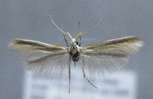 (Coleophora leucopodella - MM21783)  @11 [ ] by-nc (2012) Marko Mutanen University of Oulu