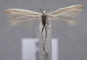 (Coleophora sergiella - MM21811)  @13 [ ] by-nc (2014) Marko Mutanen University of Oulu