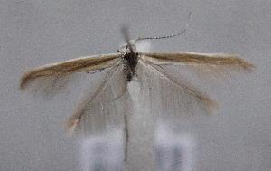 (Coleophora gredosella - MM21813)  @13 [ ] by-nc (2014) Marko Mutanen University of Oulu