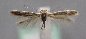 (Coleophora zhusguni - MM21852)  @13 [ ] by-nc (2012) Marko Mutanen University of Oulu