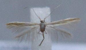 (Coleophora denigrella - MM21928)  @11 [ ] by-nc (2012) Marko Mutanen University of Oulu