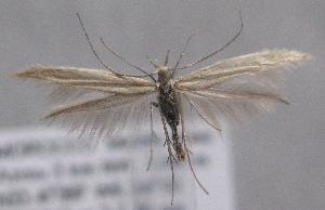(Coleophora fretella - MM21967)  @11 [ ] by-nc (2014) Marko Mutanen University of Oulu
