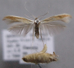 (Coleophora liriophorella - MM21975)  @13 [ ] by-nc (2014) Marko Mutanen University of Oulu