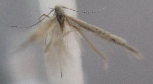 (Coleophora polynella - MM23567)  @11 [ ] by-nc (2014) Marko Mutanen University of Oulu