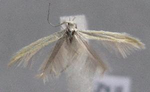 (Coleophora turbatella - MM23606)  @13 [ ] by-nc (2014) Marko Mutanen University of Oulu
