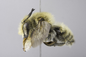 (Megachile USA01 - 14511E03-NM)  @11 [ ] Unspecified (default): All Rights Reserved  Unspecified Unspecified