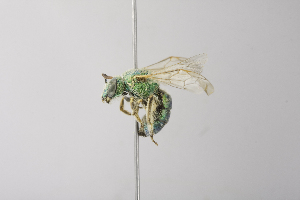 (Agapostemon angelicus - 14511G05-NM)  @11 [ ] Unspecified (default): All Rights Reserved  Unspecified Unspecified