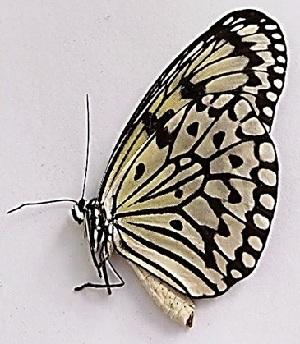 (Idea leuconoe leuconoe - TIL 3)  @11 [ ] Copyright (c) (2017) Unspecified Entopia by Penang Butterfly Farm