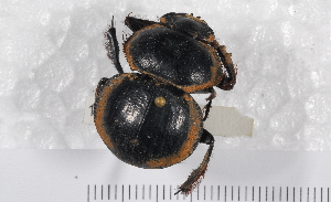 (Pachysoma - 10TEOSA-0452)  @12 [ ] CreativeCommons - Attribution Non-Commercial Share-Alike (2011) Michelle Van Der Bank University of Johannesburg