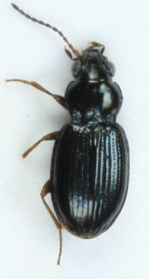 (Bembidion schuppelii - ZMUO.003361)  @12 [ ] CreativeCommons - Attribution Non-Commercial (2012) Marko Mutanen University of Oulu