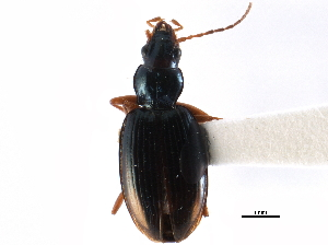 (Bembidion stephensii - CCDB-22961-E07)  @13 [ ] CreativeCommons - Attribution Non-Commercial Share-Alike (2014) CBG Photography Group Centre for Biodiversity Genomics