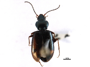(Bembidion bimaculatum - CCDB-22961-E08)  @13 [ ] CreativeCommons - Attribution Non-Commercial Share-Alike (2014) BIO Photography Group Biodiversity Institute of Ontario