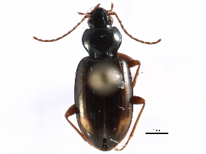 (Bembidion bimaculatum - CCDB-22961-E11)  @13 [ ] CreativeCommons - Attribution Non-Commercial Share-Alike (2014) BIO Photography Group Biodiversity Institute of Ontario