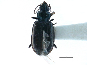 (Bembidion carolinense - CCDB-23050-F10)  @11 [ ] CreativeCommons - Attribution Non-Commercial Share-Alike (2015) CBG Photography Group Centre for Biodiversity Genomics