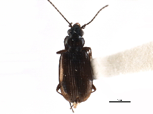 (Bembidion sulcipenne - CCDB-23050-H09)  @11 [ ] CreativeCommons - Attribution Non-Commercial Share-Alike (2015) BIO Photography Group Biodiversity Institute of Ontario