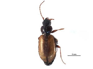 (Bembidion sejunctum - CCDB-23051-A06)  @11 [ ] CreativeCommons - Attribution Non-Commercial Share-Alike (2015) BIO Photography Group Biodiversity Institute of Ontario