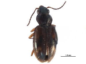 (Bembidion mimus - CCDB-23051-C01)  @14 [ ] CreativeCommons - Attribution Non-Commercial Share-Alike (2015) BIO Photography Group Biodiversity Institute of Ontario