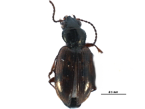 (Bembidion versicolor - CCDB-23051-C07)  @15 [ ] CreativeCommons - Attribution Non-Commercial Share-Alike (2015) BIO Photography Group Biodiversity Institute of Ontario