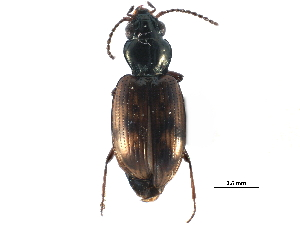 (Bembidion versicolor - CCDB-23051-C10)  @15 [ ] CreativeCommons - Attribution Non-Commercial Share-Alike (2015) BIO Photography Group Biodiversity Institute of Ontario