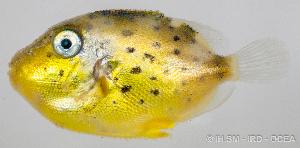 (Pseudobalistes - M0202_011)  @14 [ ] Copyright (2015) Henitsoa JAONALISON IH.SM