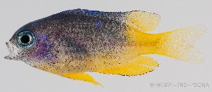 (Pomacentrus caeruleus - R0501_101)  @15 [ ] Copyright (2015) Adeline COLLET,OCEA Consult IRD