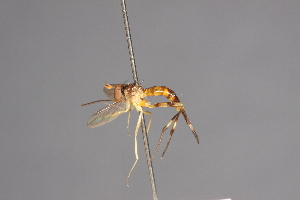 (Stylogaster abdominalis - CNC Diptera 28426)  @11 [ ] CreativeCommons - Attribution Non-Commercial (2010) Jeffrey H. Skevington Agriculture and Agri-Food Canada