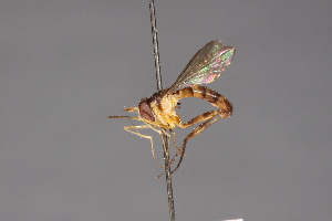 (Stylogaster banksi - CNC Diptera 28427)  @11 [ ] CreativeCommons - Attribution Non-Commercial (2010) Jeffrey H. Skevington Agriculture and Agri-Food Canada