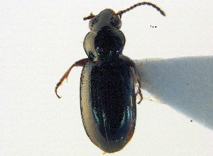 (Bembidion dyschirinum - BIOUG09887-B09)  @14 [ ] CreativeCommons - Attribution Non-Commercial Share-Alike (2014) BIO Photography Group Biodiversity Institute of Ontario