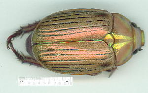 (Anoplognathus sp - gvc10780-1L)  @11 [ ] Copyright (2004) Unspecified Unspecified