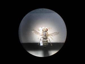 (Bembix olivacea - CCDB-06433-C10)  @13 [ ] CreativeCommons - Attribution Non-Commercial Share-Alike (2010) Gergin Blagoev, Biodiversity Intitute of Ontario Biodiversity Institute of Ontario