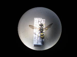 (Cerceris bupresticida - CCDB-06433-D07)  @13 [ ] CreativeCommons - Attribution Non-Commercial Share-Alike (2010) BIO Photography Group Biodiversity Institute of Ontario