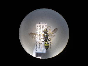 (Gorytes laticinctus laticinctus - CCDB-06434-F01)  @13 [ ] CreativeCommons - Attribution Non-Commercial Share-Alike (2010) Gergin Blagoev, Biodiversity Intitute of Ontario Biodiversity Institute of Ontario