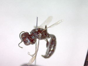 (Crossocerus elongatulus elongatulus - CCDB-12229-D08)  @13 [ ] Copyright  G. Blagoev 2010 Unspecified