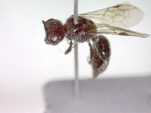 (Pemphredon morio - CCDB-12229-E11)  @13 [ ] Copyright  G. Blagoev 2010 Unspecified