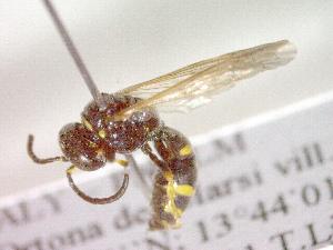 (Gorytes quinquefasciatus quinquefasciatus - CCDB-12232-C03)  @13 [ ] Copyright  G. Blagoev 2010 Unspecified