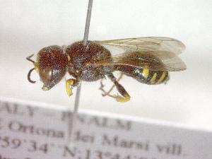 (Ectemnius meridionalis - CCDB-12232-G04)  @13 [ ] Copyright  G. Blagoev 2010 Unspecified