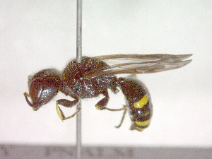 (Ectemnius rubicola rubicola - CCDB-12232-H02)  @13 [ ] Copyright  G. Blagoev 2010 Unspecified