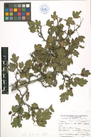 (Crataegus rhipidophylla - LE-GU-11-124)  @11 [ ] CreativeCommons - Attribution Non-Commercial No Derivatives (2012) Roman Ufimov Komarov Botanical Institute, RAS