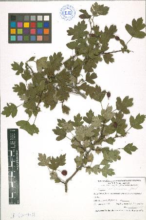 (Crataegus subsphaerica - LE-GU-11-28)  @11 [ ] CreativeCommons - Attribution Non-Commercial No Derivatives (2012) Roman Ufimov Komarov Botanical Institute, RAS