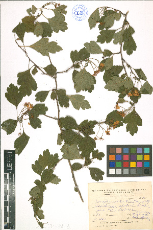 ( - LE-IP-81-1)  @11 [ ] CreativeCommons - Attribution Non-Commercial No Derivatives (2012) Roman Ufimov Komarov Botanical Institute, RAS