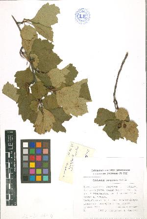 (Crataegus sanguinea - LE-Iv-96-4)  @11 [ ] CreativeCommons - Attribution Non-Commercial No Derivatives (2012) Roman Ufimov Komarov Botanical Institute, RAS