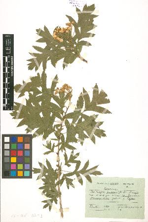 ( - LE-Mel-83-1)  @11 [ ] CreativeCommons - Attribution Non-Commercial No Derivatives (2012) Roman Ufimov Komarov Botanical Institute, RAS