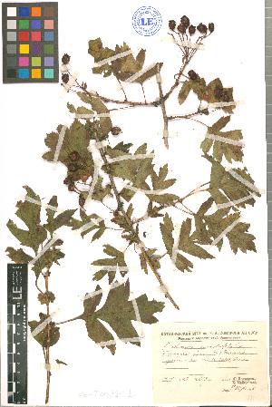 (Crataegus pinnatifida - LE-Tzv-89-1)  @11 [ ] CreativeCommons - Attribution Non-Commercial No Derivatives (2012) Roman Ufimov Komarov Botanical Institute, RAS