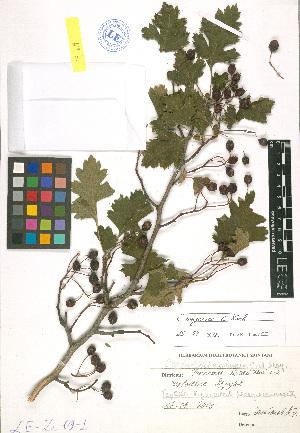 (Crataegus songarica - LE-Za-09-1)  @11 [ ] CreativeCommons - Attribution Non-Commercial No Derivatives (2012) Roman Ufimov Komarov Botanical Institute, RAS